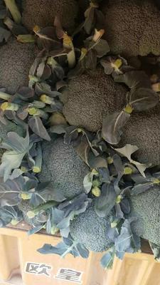河北省邯郸市永年县耐寒优秀西兰花 1.2~1.5斤 10~15cm
