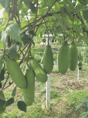 湖南省怀化市鹤城区青皮八月瓜 种植 100-120g