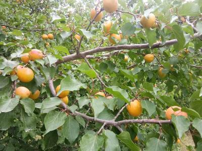 新疆维吾尔自治区阿克苏地区阿克苏市小白杏 40-45mm