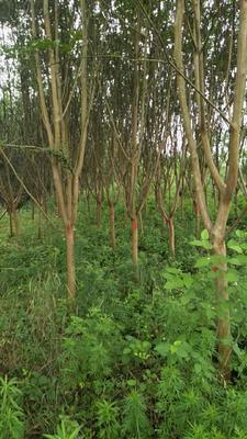 安徽省六安市裕安区紫薇树