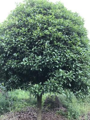 广西壮族自治区桂林市平乐县桂花树