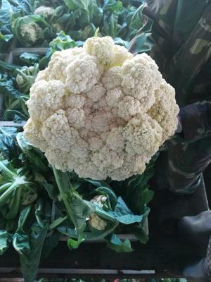 河北省张家口市万全县松花菜 适中 2~3斤 乳白色