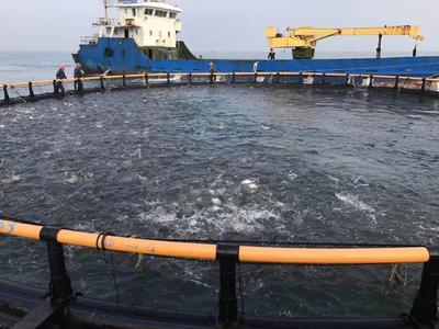 广东省珠海市斗门区金鲳鱼 人工养殖 0.5龙8国际官网官方网站以下