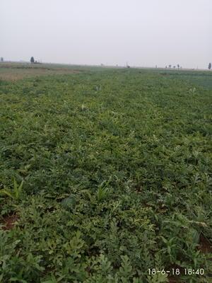 河北省邯郸市鸡泽县龙卷风西瓜 有籽 1茬 8成熟 6斤打底