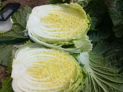 河北省张家口市万全县玲珑黄白菜 6~10斤 二毛菜