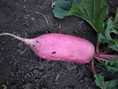 山东省临沂市兰陵县红皮萝卜 1~1.5斤