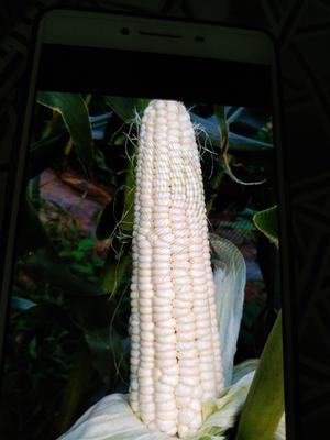 这是一张关于万糯2000玉米 白粒 鲜货的产品图片
