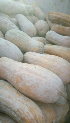 河北省保定市易县蜜本南瓜 4~6斤 长条形