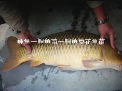 北京顺义区池塘鲤鱼 人工养殖 1-1.5龙8国际官网官方网站