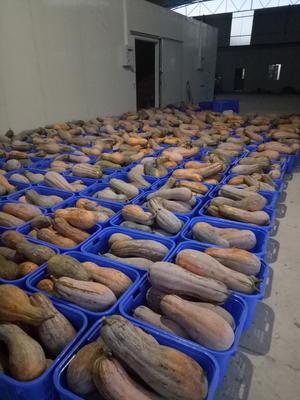 贵州省遵义市道真仡佬族苗族自治县金韩蜜本南瓜 6~10斤 长条形