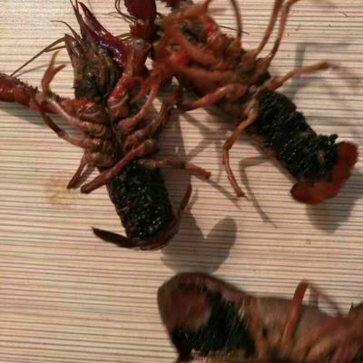 这是一张关于龙虾苗的产品图片