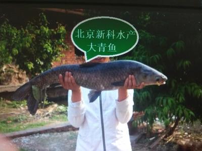 北京顺义区淡水青鱼 人工养殖 1-2.5公斤