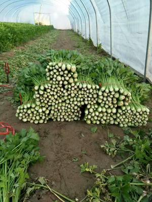 陕西省榆林市靖边县美国文图拉芹菜 60cm以上 大棚种植 0.5斤以下