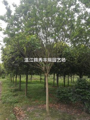这是一张关于四川紫薇 的产品图片
