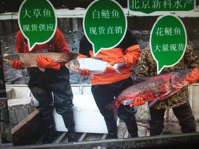 北京顺义区池塘草鱼 人工养殖 1-1.5龙8国际官网官方网站