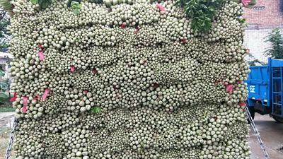 陕西省西安市阎良区加州王芹菜 55~60cm 露天种植 0.5斤以下
