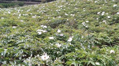 甘肃省兰州市榆中县油用牡丹种苗 2cm以下 8~10cm 0.5~1米