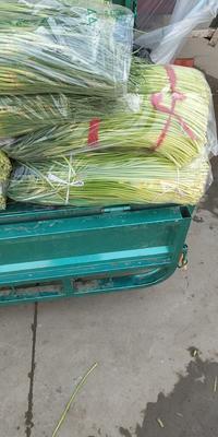 河北省邯郸市永年县中农106黄瓜 30cm以上 干花带刺