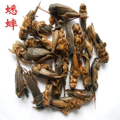 广西壮族自治区梧州市长洲区蟋蟀