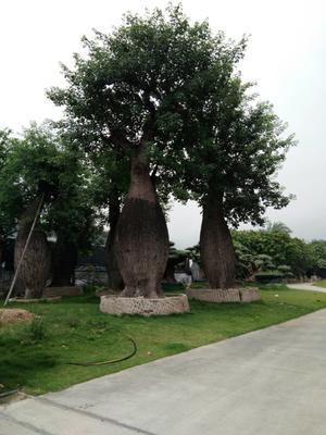 云南省昆明市呈贡区佛肚树苗