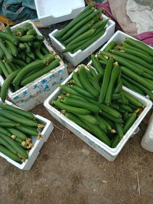 江苏省无锡市锡山区鲜花丝瓜 20cm以上