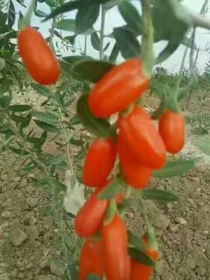 宁夏回族自治区中卫市沙坡头区宁夏枸杞 特优级