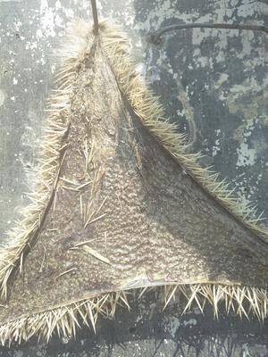 山东省菏泽市鄄城县刺猬皮