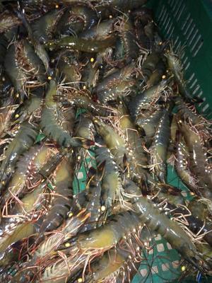 海南省海口市美兰区斑节对虾 人工殖养 4-6钱