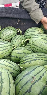 这是一张关于早春红玉西瓜 有籽 2茬 9成熟 4斤打底的产品图片