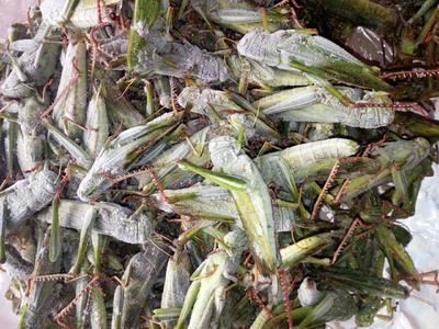 这是一张关于东亚飞蝗的产品图片