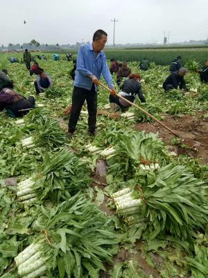 河北省保定市定州市尖叶青莴笋 40-50cm 1.5~2.0斤