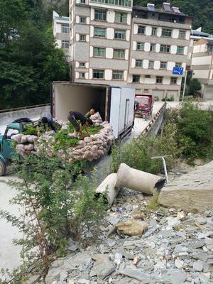 四川省绵阳市安县曼地亚红豆杉 1~1.5米