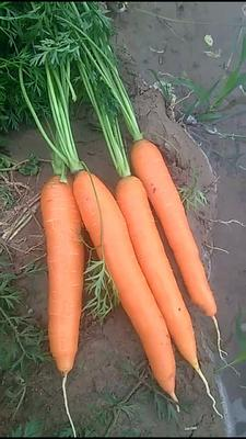陕西省榆林市靖边县三红红萝卜 0.2~1斤