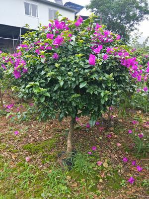 四川省宜宾市翠屏区紫花三角梅 1.0~1.5米