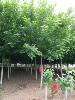 河南省许昌市鄢陵县紫丁香 6~8cm 8~10cm 2.5~3米