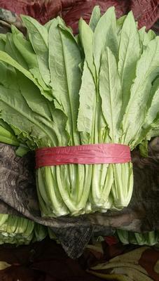 河北省邯郸市丛台区美冠油麦菜 20~25cm以上