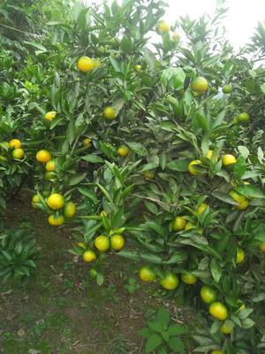 这是一张关于蜜桔 5.5 - 6cm 1.5 - 2两的产品图片