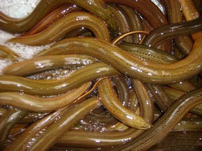 这是一张关于商品黄鳝 野生的产品图片