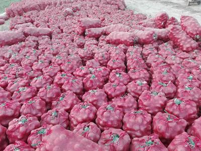 山东省菏泽市单县红皮洋葱 8cm以上 二红 2.5-3两