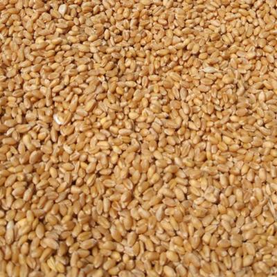 山东省青岛市平度市混合小麦