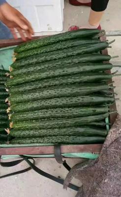 河北省邯郸市永年县刺黄瓜 22~25cm 鲜花带刺