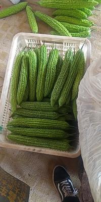 山东省潍坊市寿光市绿苦瓜 22-25cm 6~8两
