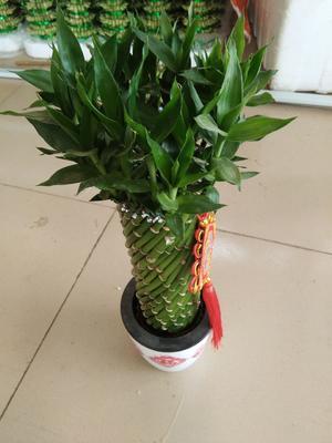 广东省广州市荔湾区富贵竹盆栽