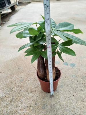 云南省昆明市呈贡区三杆发财树