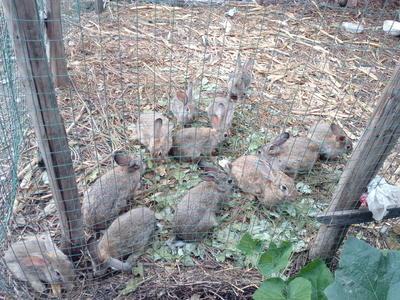 这是一张关于山地野兔 1-3斤的产品图片