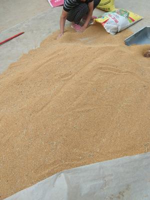 这是一张关于黄皮谷子的产品图片
