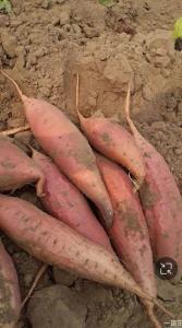 湖南省永州市新田县烟薯25 红皮 3两以上