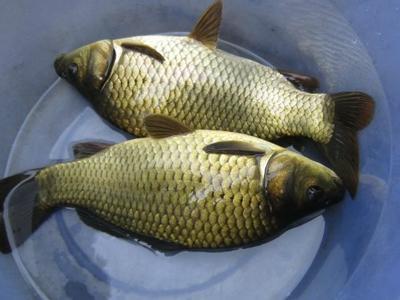 这是一张关于黄金鲫 人工养殖 0.25-1公斤的产品图片
