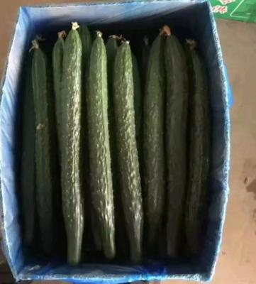 河北省邯郸市永年县刺黄瓜 25~30cm 鲜花带刺