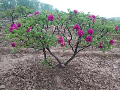 山东省菏泽市牡丹区牡丹树 8~10cm 4~6cm 2.5~3米